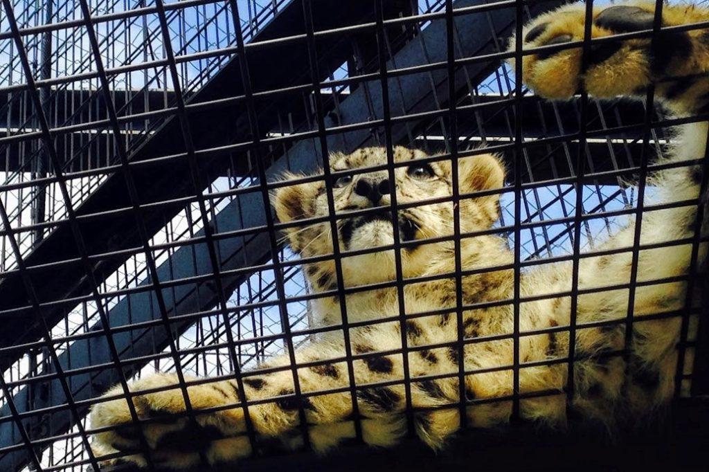 旭山動物園のユキヒョウの子供